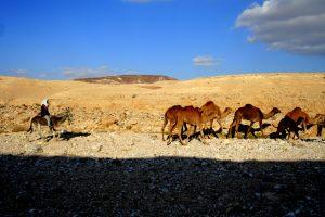 גמלים לאורך דרך אדום