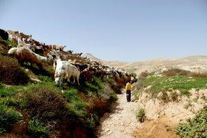 עדרי עיזים באיזור ערד